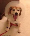 Kerr's injured beagle, Creole Belle