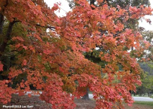 Bright red leaves on this tree in Pasquo, TN.